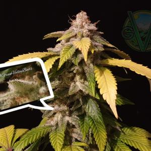 Photo of Black D.O.G. by Green Valley Buds