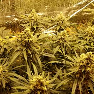 Photo of Amherst Sour Diesel by David Brooks
