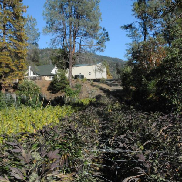 Cannabis Garden California