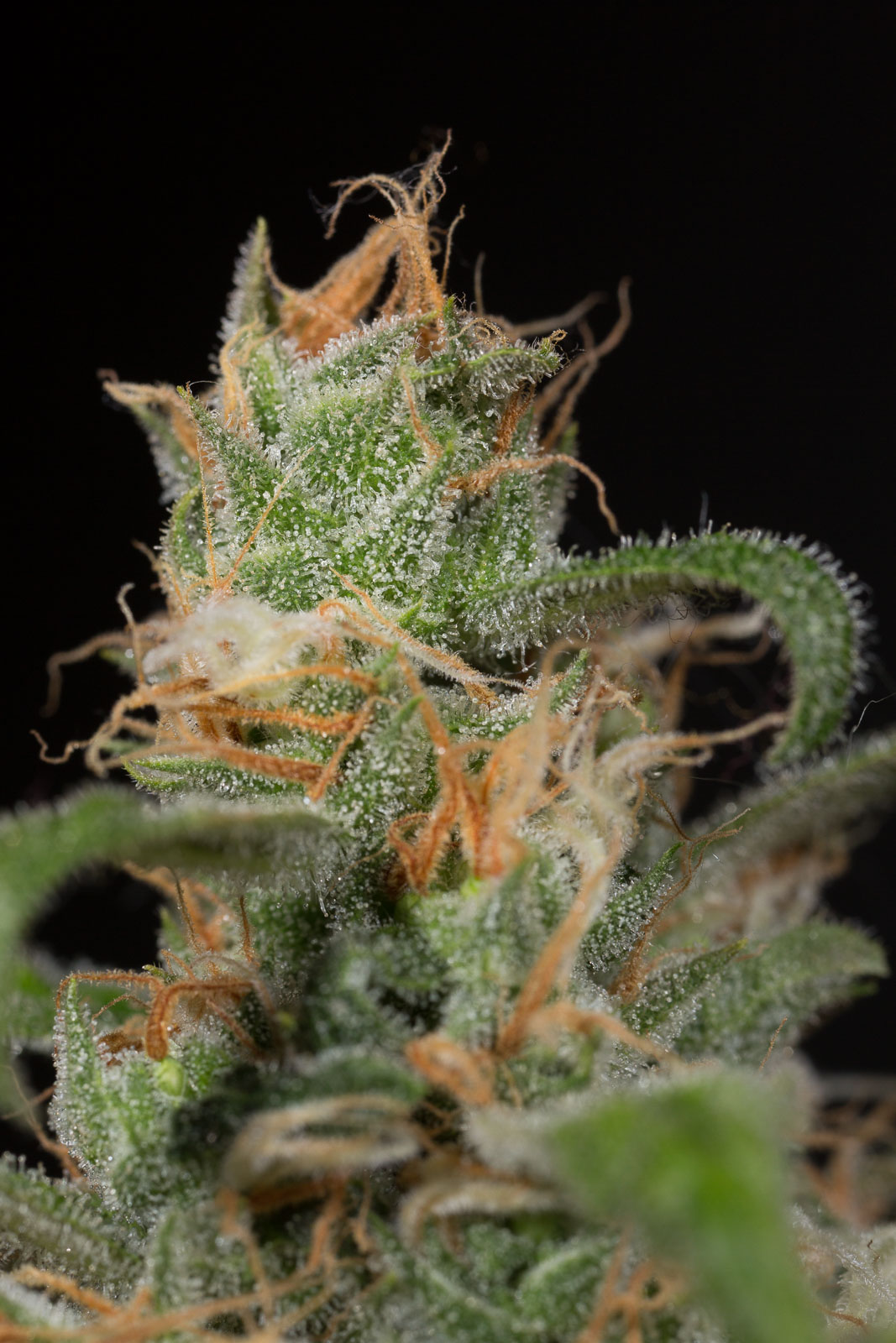 Buy Blue Dream CBD - Humboldt Seeds UK
