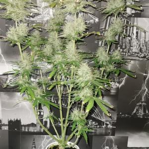 Photo of Chocolate Mint OG Auto by st.tom from afn