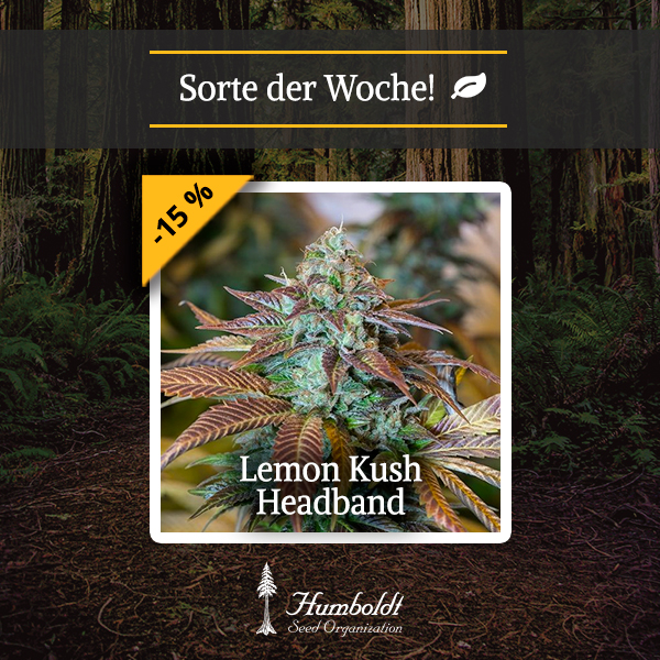 Sorte der Woche: Lemon Kush Headband - Humboldt Seeds