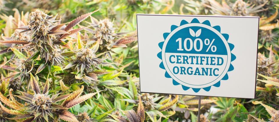 Cultivo de cannabis orgánico