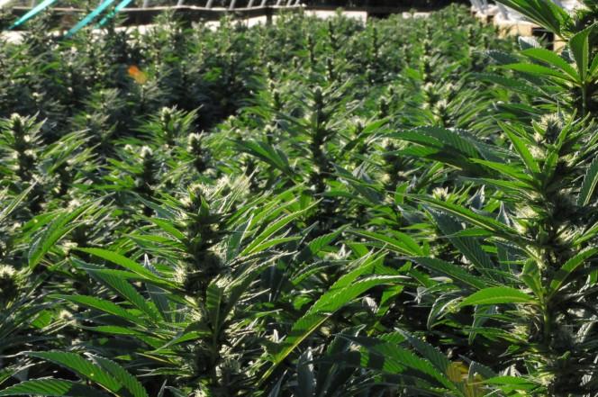 Cómo cultivar variedades de marihuana autoflorecientes en exterior