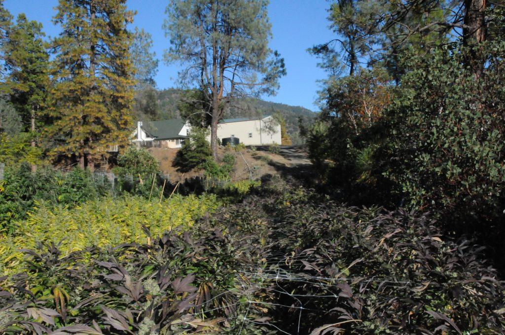 Cultivo Cannabis California