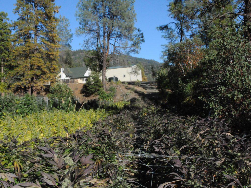 Cannabis Farm California