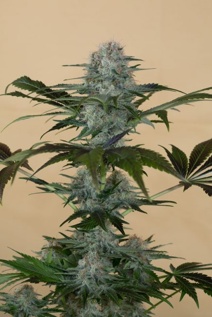 Black D.O.G Cannabis Plant Picture