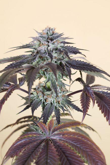 Foto de la planta de marihuana Bubba's Gift