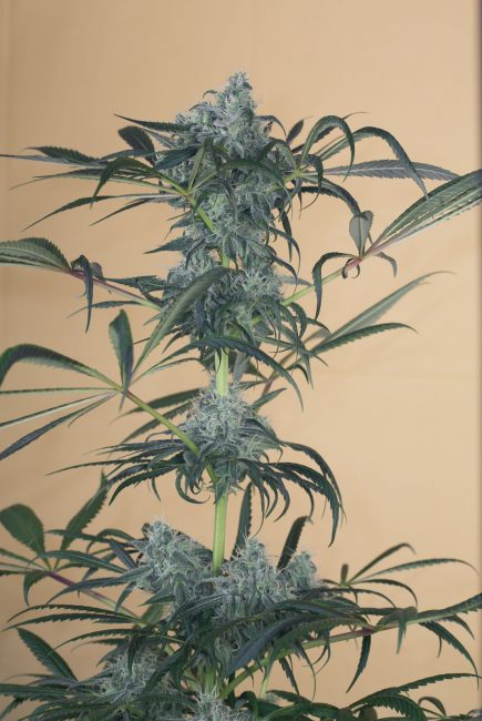 Foto de la planta de marihuana Green Crack CBD