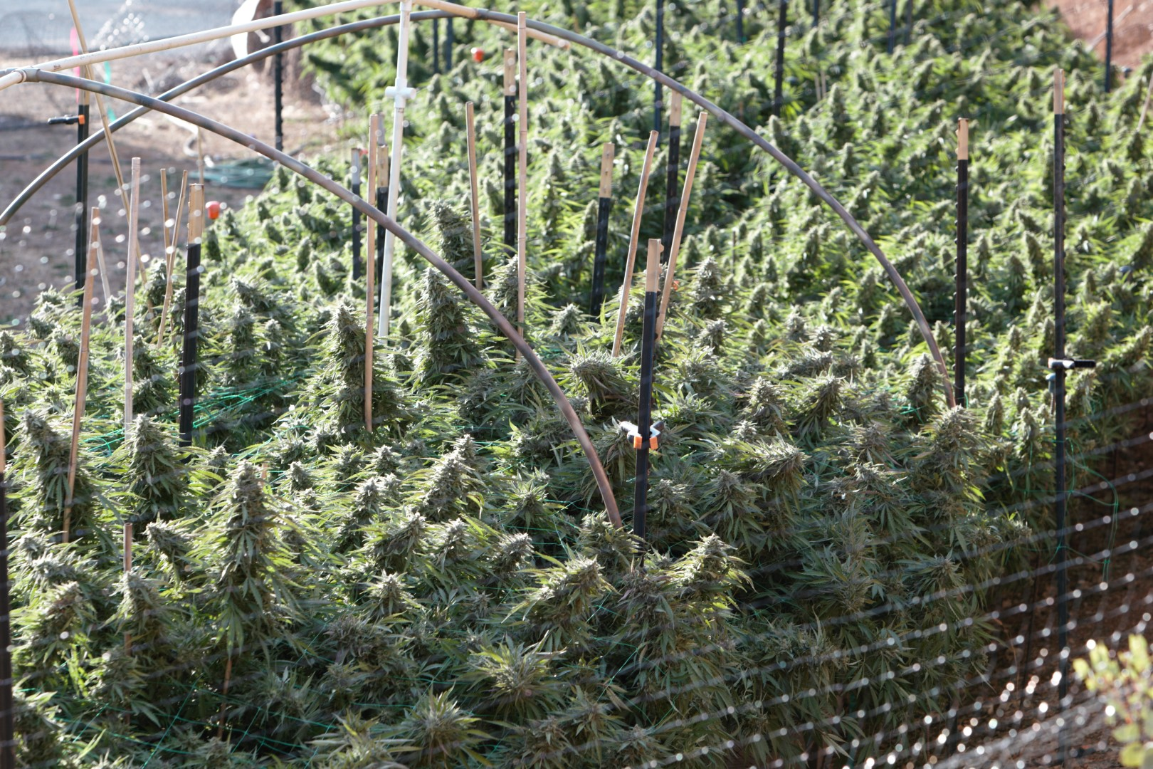black singles in humboldt The attitude seedbank has now in stock feminized amherst sour diesel by humboldt seed organization place an order securely online on our webiste or over the ph.