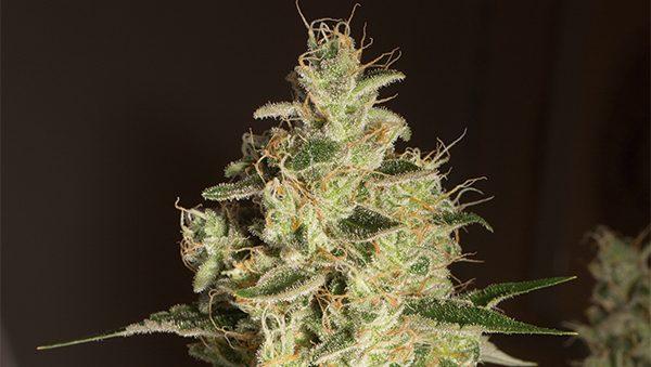 Raspberry Diesel strain: sweet and sour flavor - Humboldt