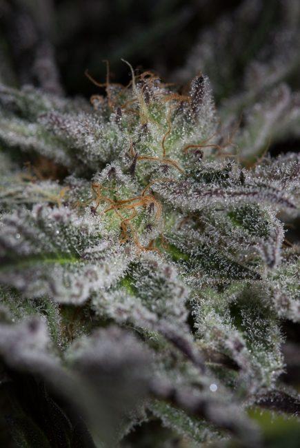 Foto de la planta de marihuana Sapphire OG