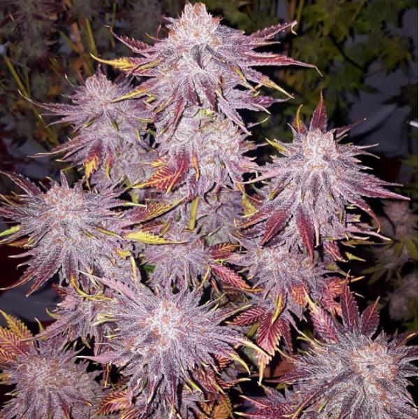 Foto de la planta de marihuana Mango Saphire