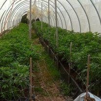 organic cannabis cultivation