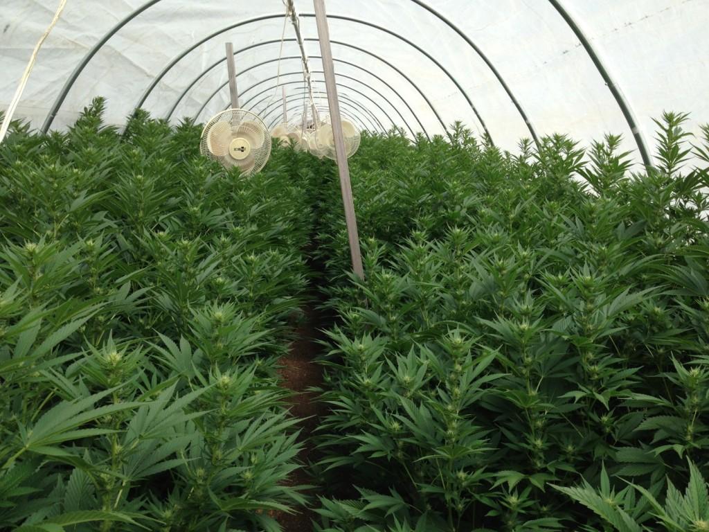HSO Sour Diesel #2 cultivé biologiquement, uniquement à l'aide d'amendements et thés de compost.