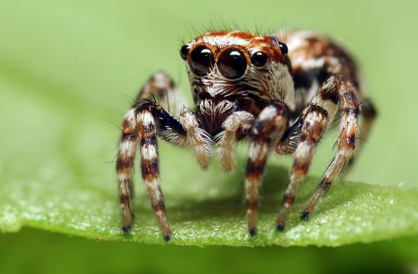 Biological control of cannabis pests - spiders