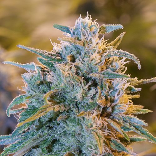semillas de marihuana blue dream