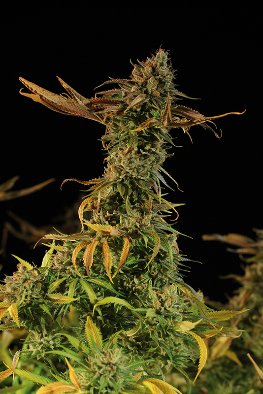 Blueberry Headband Cannabis Plant Picture