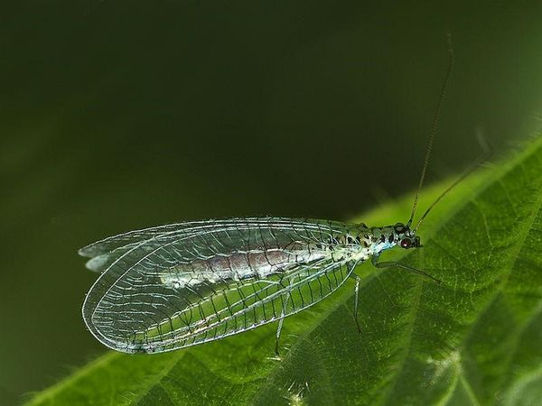Biological control of cannabis pests - lacewings