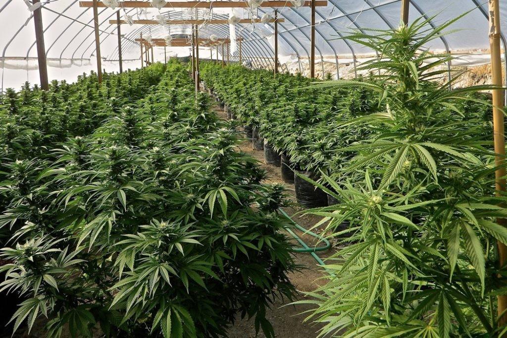 die cannabiszucht ben tigt im gegensatz zum weinbau nur des wassers wobei der gewinn 17 mal. Black Bedroom Furniture Sets. Home Design Ideas