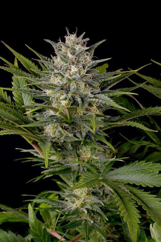 Comprar pineapple skunk regular humboldt seeds for Planta marihuana interior