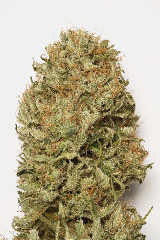 Blue Dream Auto Cannabis Plant Picture