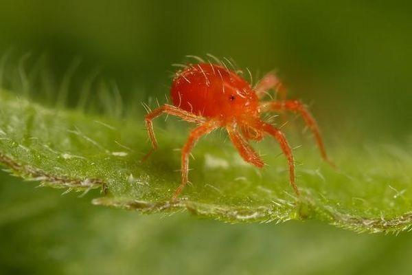 plagas más comunes de la marihuana: mosca roja