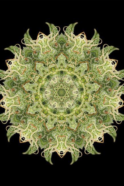 OG Kush Cannabis Plant Picture