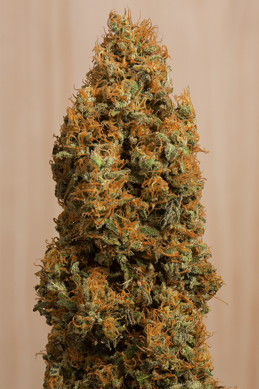 Green Crack CBD Cannabis Plant Picture