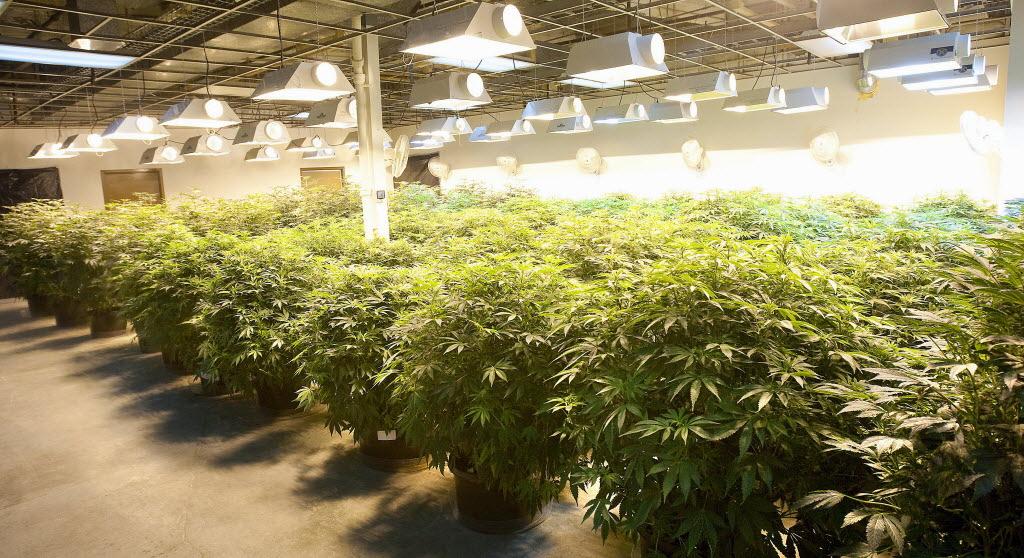 Industrieller Cannabisanbau