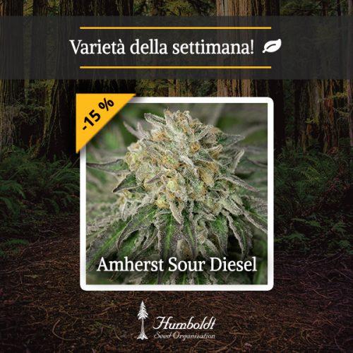 Amherst Sour Diesel HSO