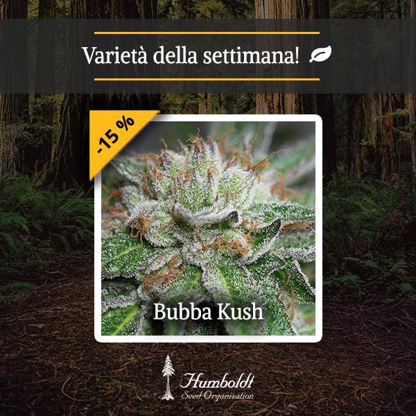 Bubba Kush HSO
