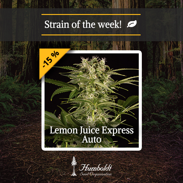 strain of the week enjoy our lemon juice express auto with 15 off humboldt seeds uk. Black Bedroom Furniture Sets. Home Design Ideas