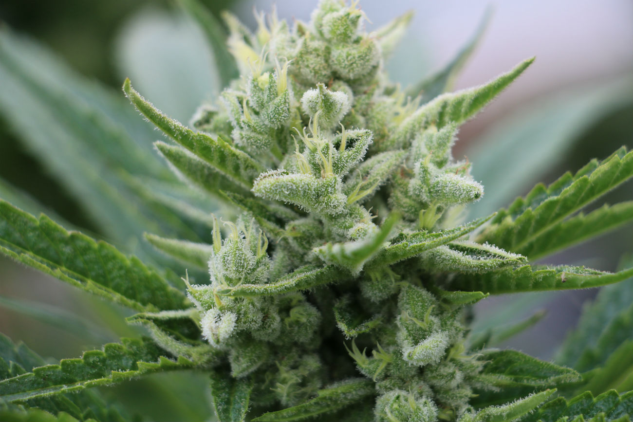 The 5 best Kush Cannabis Varieties - Humboldt Seeds UK