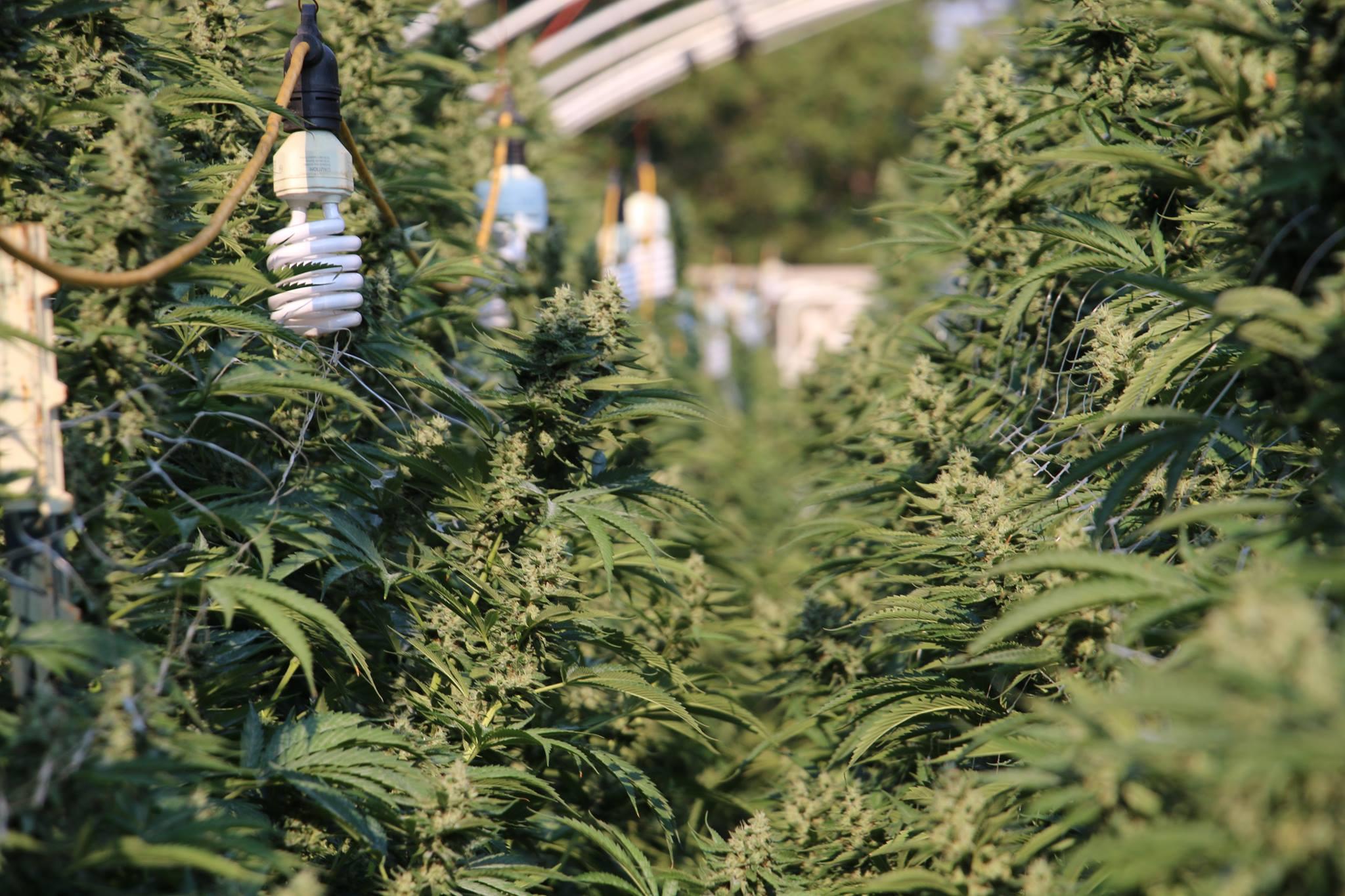 iluminación cannabis cfl