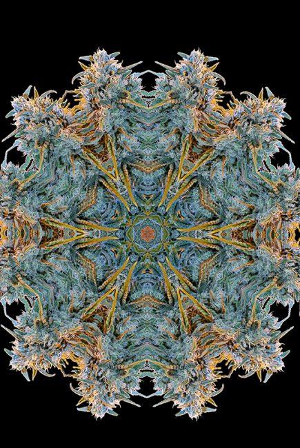 Image de la plante de cannabis Blue Dream