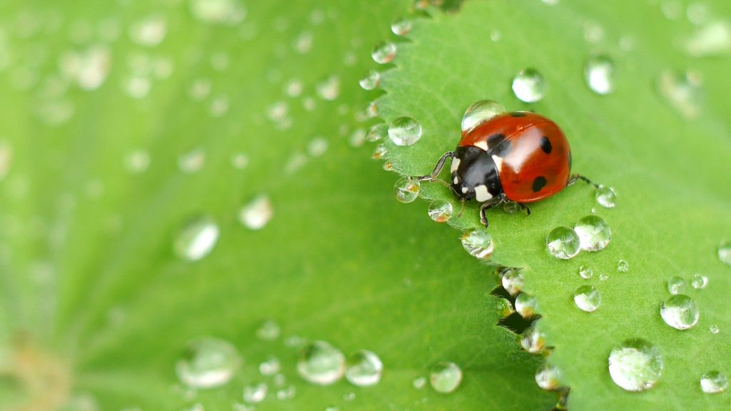 Biological control of cannabis pests - ladybugs