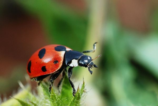 Biological control of cannabis pests