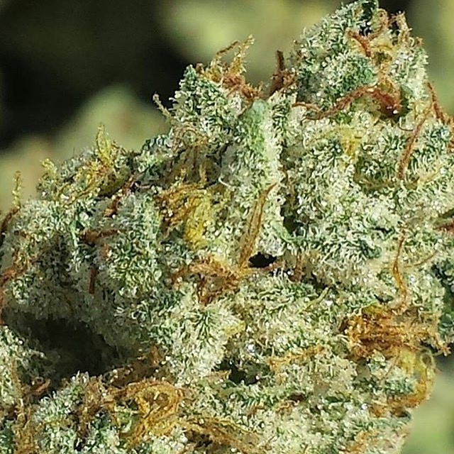sapphire scout   humboldt seeds uk