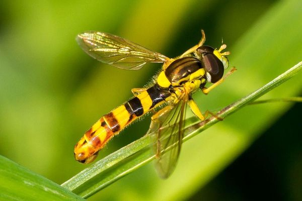 Biological control of cannabis pests - syrphidae